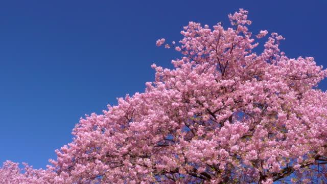 下野町の川岸にキャノーラの花を咲かせる川津桜 - 季節点の映像素材/bロール
