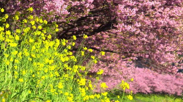 川岸にキャノーラの花を咲かせる川津桜 - 季節点の映像素材/bロール