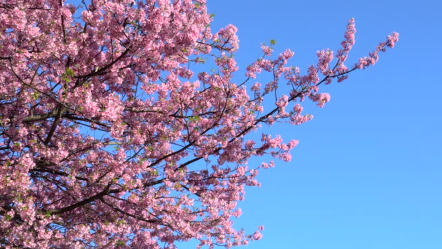 kawazu cherry blossoms against clear blue sky - cherry blossom stock videos & royalty-free footage