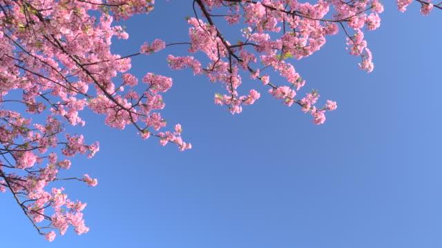 澄んだ青空に対する河津桜 - 花びら点の映像素材/bロール