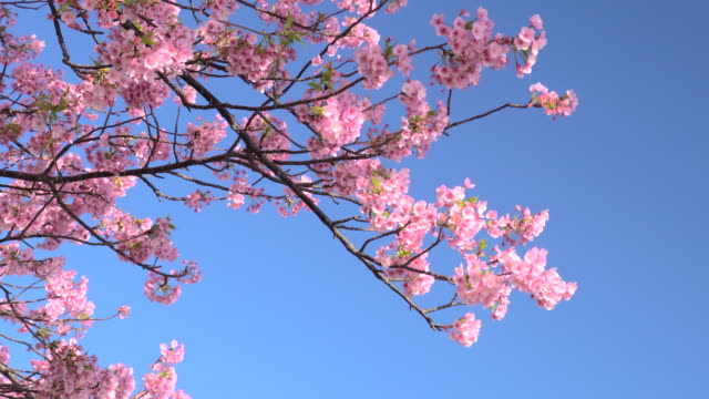 kawazu cherry blossoms against clear blue sky - national landmark stock videos & royalty-free footage