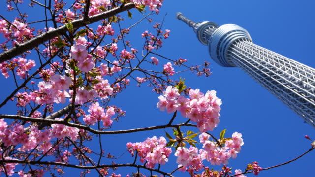 kawazu cherry tree and tokyo sky tree - low angle view stock-videos und b-roll-filmmaterial