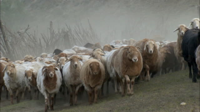 kazakhs herd sheep and goats, kalamaili nature reserve, xinjiang, china - shepherd stock videos & royalty-free footage