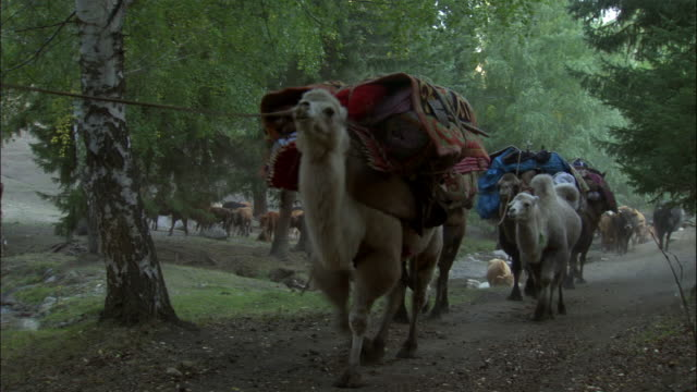 kazakhs lead camel train along path, kalamaili nature reserve, xinjiang, china - 運ぶ点の映像素材/bロール