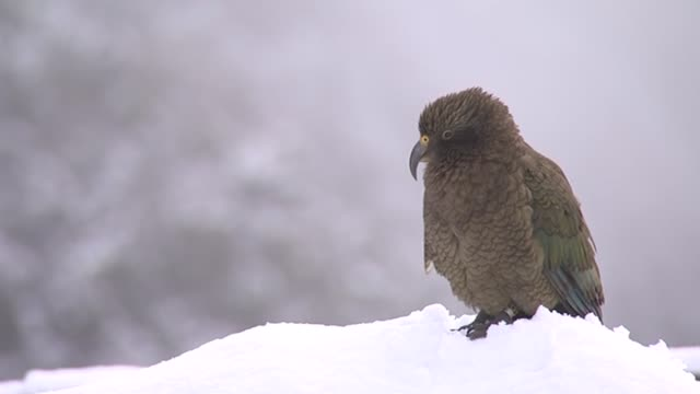 kea bird in snow at arthur's pass township. - wildlife stock videos & royalty-free footage