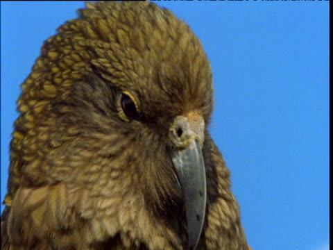 kea looks around alertly, south island, new zealand - 動物の口点の映像素材/bロール