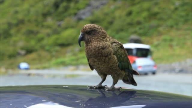 kea, native alpine parrot of new zealand - new zealand stock videos & royalty-free footage
