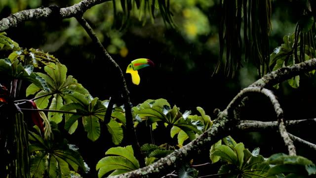 kielschnabel-toucan, costa rica - provinz puntarenas stock-videos und b-roll-filmmaterial