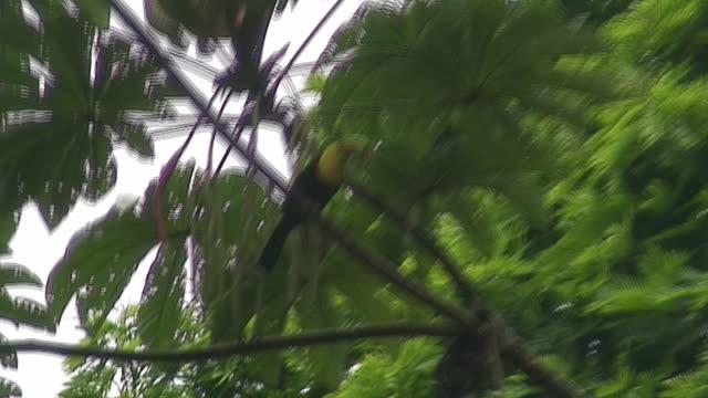 Keel-billed Toucan in the wild