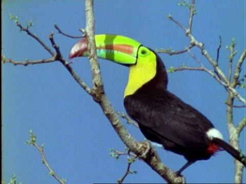 keel-billed toucan, mcu toucan on branch, looks around and calls, panama - 泌尿器系点の映像素材/bロール