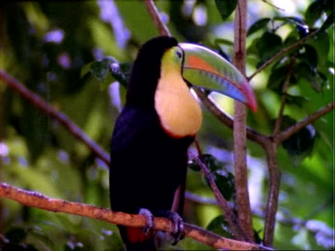 Keel-billed Toucan (Ramphastos sulfuratus), toucan on branch in rain, looks around, flies off, close up.