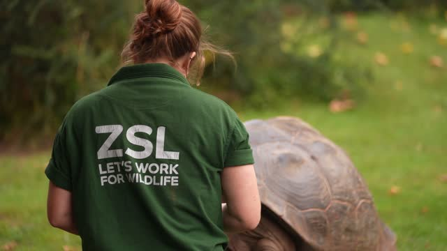 keeper charli ellis with polly the galapagos tortoise, during the annual weigh-in at zsl london zoo on august 26, 2021 in london, england. - reptile stock videos & royalty-free footage