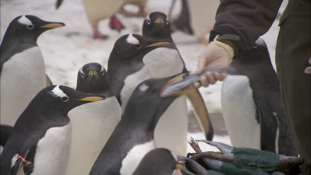 a keeper feeds fish to gentoo penguins at edinburgh zoo.  - feeding stock videos & royalty-free footage