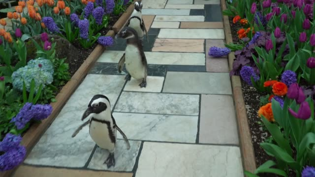 keepers at the como zoo took a trio of african black footed penguins out for a stroll around the sunken garden at the marjorie mcneely conservatory... - springtime stock videos & royalty-free footage