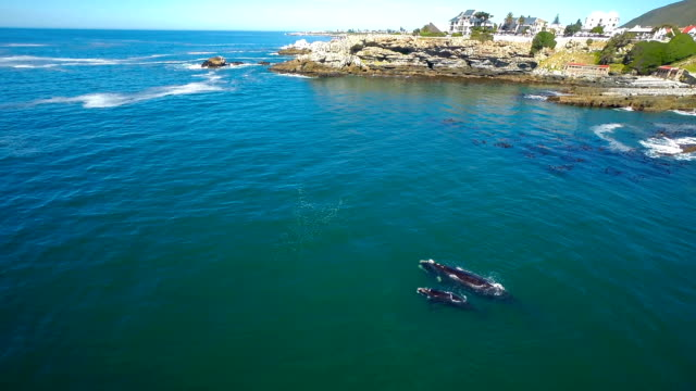 keeping close to shore - southern right whale stock videos & royalty-free footage