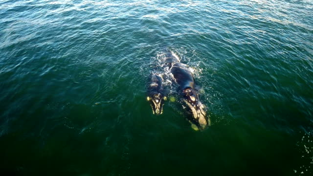 keeping her calf close - southern right whale stock videos & royalty-free footage