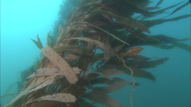 kelp and purple sea urchins (strongylocentrotus purpuratus) cling to sea bed in current, california, usa - ricci di mare video stock e b–roll