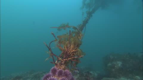 kelp and purple sea urchins (strongylocentrotus purpuratus) cling to sea bed in current, california, usa - ウニ点の映像素材/bロール