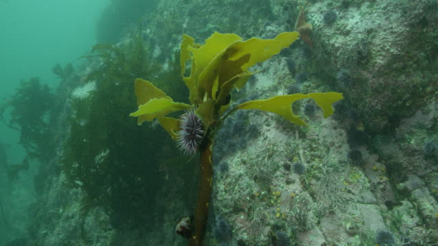 kelp being eaten by purple urchins - ricci di mare video stock e b–roll