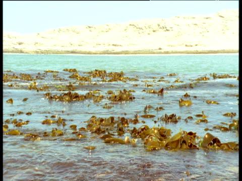 kelp bobs on waves, sand dunes in background - kelp stock-videos und b-roll-filmmaterial
