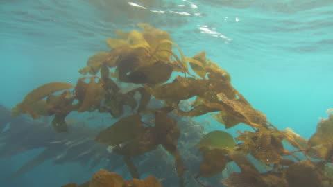 vídeos y material grabado en eventos de stock de kelp branches sway in the ocean's current. available in hd. - kelp