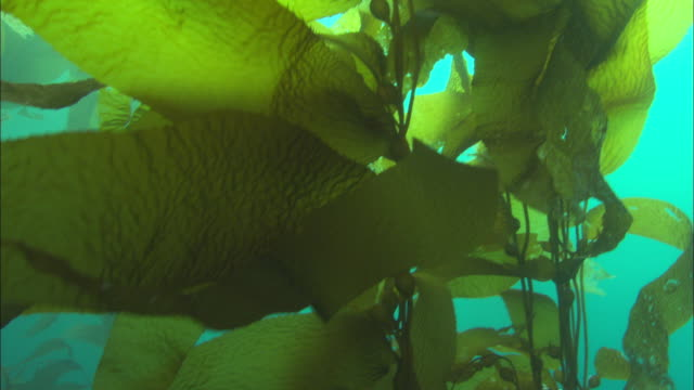 kelp branches sway in the ocean's current. available in hd. - seetang stock-videos und b-roll-filmmaterial