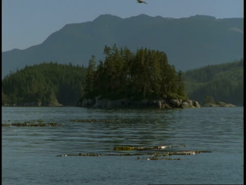 kelp floats in large clumps near the shore of telegraph cove on vancouver island. - kelp stock-videos und b-roll-filmmaterial