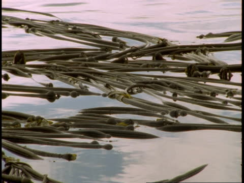 kelp floats in telegraph cove in british columbia. - kelp stock-videos und b-roll-filmmaterial