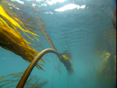 kelp floats just beneath the surface of the ocean. - wasserpflanze stock-videos und b-roll-filmmaterial