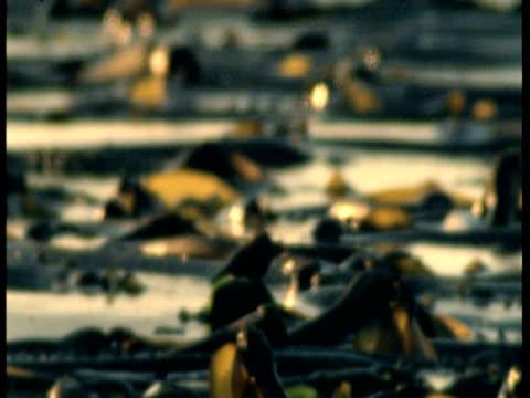 kelp floats near friday harbor. - kelp stock-videos und b-roll-filmmaterial