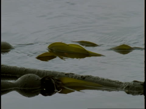 kelp floats on the surface of telegraph cove on victoria island. - wasserpflanze stock-videos und b-roll-filmmaterial
