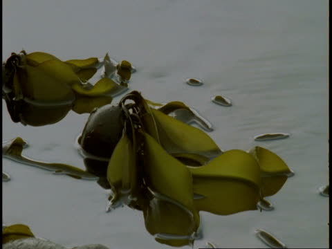 kelp floats on the surface of telegraph cove. - wasserpflanze stock-videos und b-roll-filmmaterial