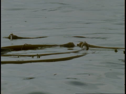 kelp floats on the surface of the ocean. - aquatic plant stock videos & royalty-free footage