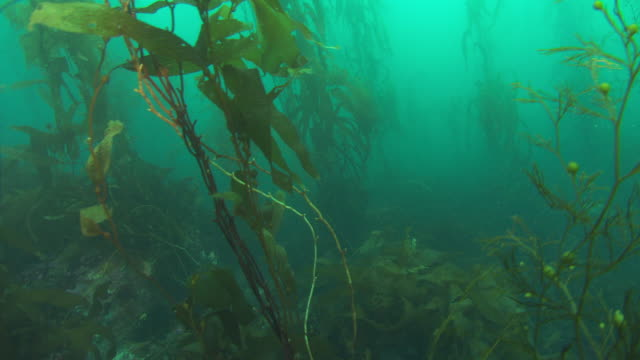 a kelp forest grows on the ocean floor. available in hd. - seetang stock-videos und b-roll-filmmaterial