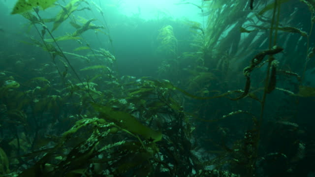 kelp forest in green sea, falkland islands - underwater stock videos & royalty-free footage