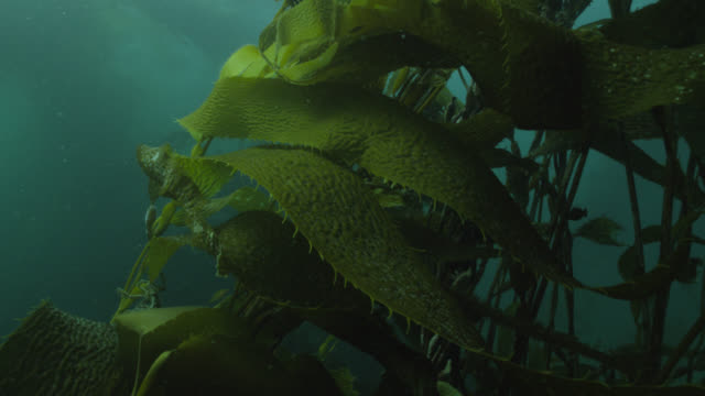 kelp forest in green sea, falkland islands - atlantic islands stock videos & royalty-free footage