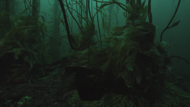 kelp forest in green sea, falkland islands - seabed stock videos & royalty-free footage