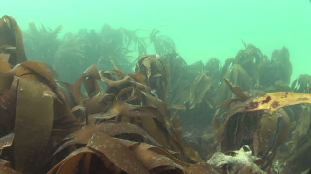 kelp forest..  pembrokeshire, wales, uk - pembrokeshire stock videos & royalty-free footage