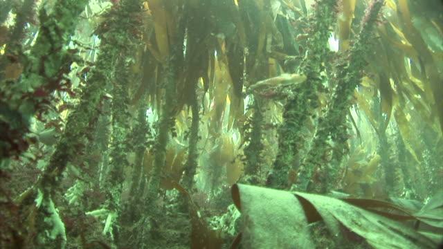 kelp forest..  Pembrokeshire, Wales, UK
