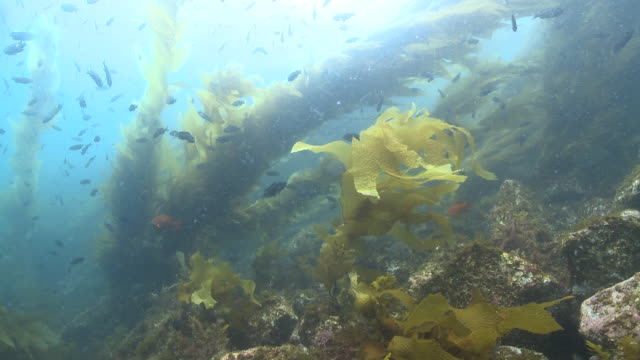vídeos y material grabado en eventos de stock de kelp forest scenic with lots of fish, including garibaldi (hypsypops rubicundus)  - quelpo