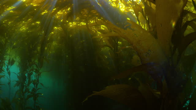 kelp forest underwater, sunlight falling in sea - monterey, california - kelp stock-videos und b-roll-filmmaterial