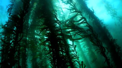 vídeos y material grabado en eventos de stock de kelp forest - kelp