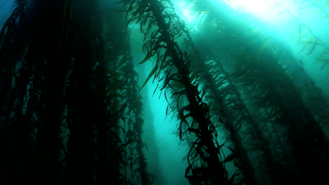 kelp forest - aquatisches lebewesen stock-videos und b-roll-filmmaterial