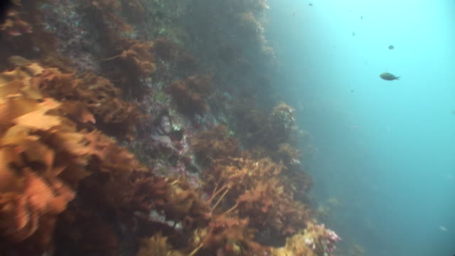 kelp forests (order laminariales), pan around, new zealand, poor knights, new zealand - kelp stock-videos und b-roll-filmmaterial