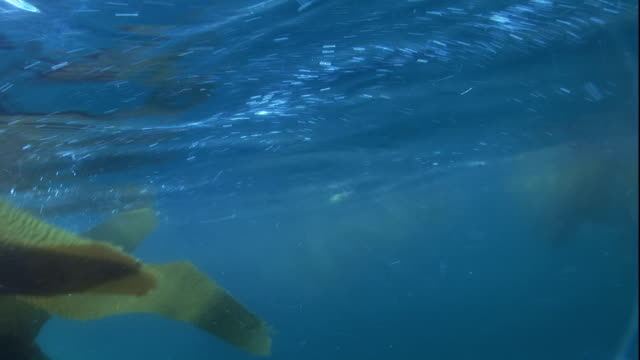 kelp fronds float at the surface of the ocean. - kelp stock videos & royalty-free footage