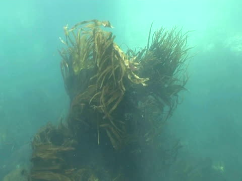 WS kelp fronds flowing in current. Channel Islands, UK