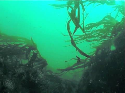 vidéos et rushes de kelp fronds swaying in gentle tide current, cu - fronde