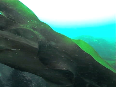 vídeos de stock, filmes e b-roll de kelp fronds swaying in gentle tide current, cu - invertebrado