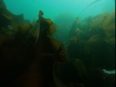 kelp fronds unfurl in the bay of fundy. - kelp stock-videos und b-roll-filmmaterial