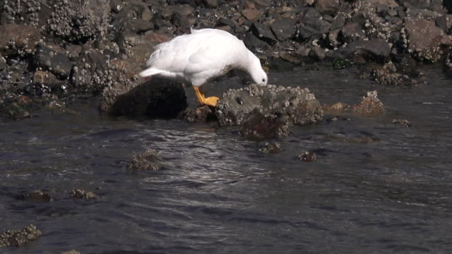 kelp goose male, ushuaia area, argentina - goose stock videos & royalty-free footage